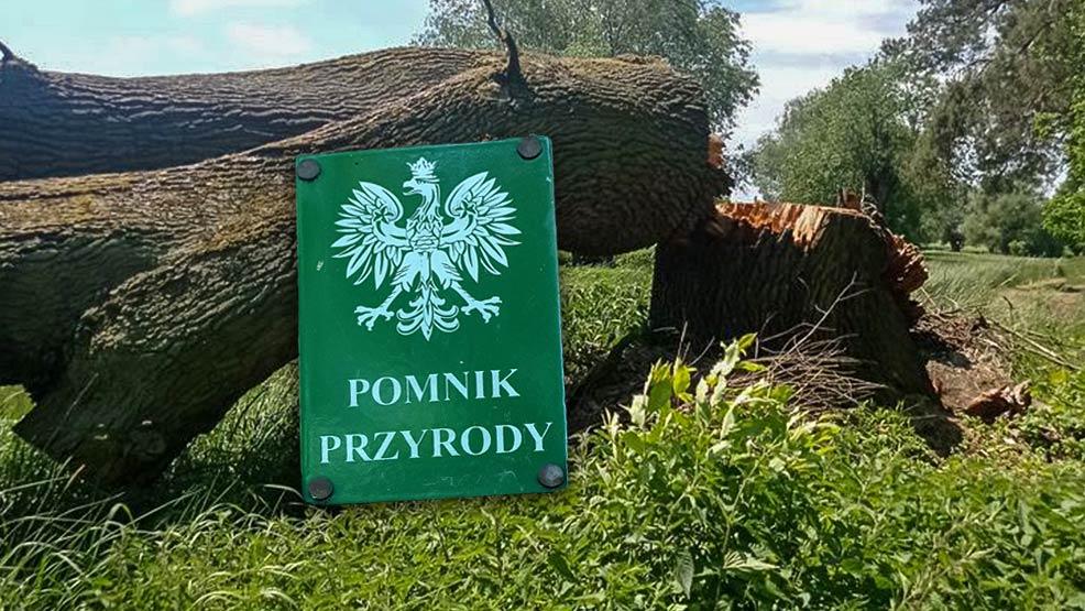 Dąb skazany na ścięcie. Czy w gminie Pępowo usunięto pomnik przyrody? - Zdjęcie główne