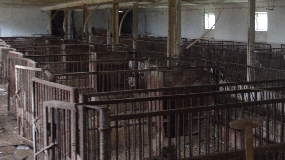 W ostatnich miesiącach rolnicy zlikwidowali ponad połowę stad trzody chlewnej - Zdjęcie główne