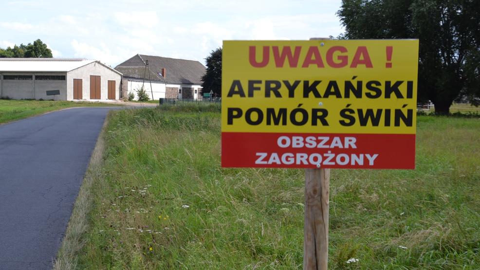 Afrykański Pomór Świń w powiecie gostyńskim? Są najnowsze dane - Zdjęcie główne