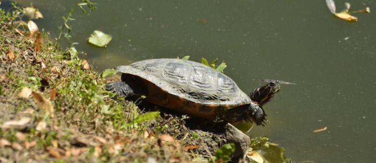 Mamy to! Oto żółw von Radolin! [ZDJĘCIA] - Zdjęcie główne