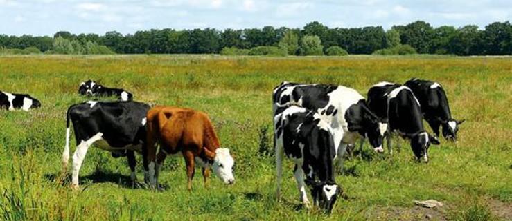 Prawdziwe krowy nie są fioletowe. Co kryje nowa książka Wacława Adamiaka?  - Zdjęcie główne