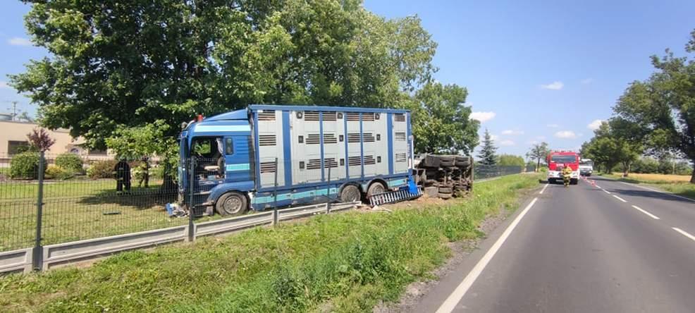 Ciężarówka przewożąca świnie wypadła z DK 15 w Golinie [ZDJĘCIA]  - Zdjęcie główne