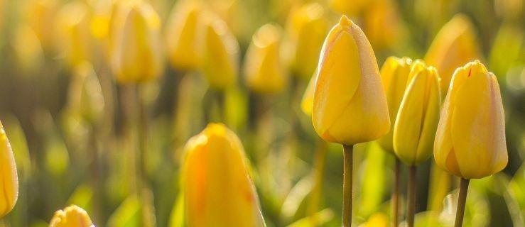 Burmistrz, sekretarz i przewodniczący rady rozdawali tulipany [GALERIA] - Zdjęcie główne