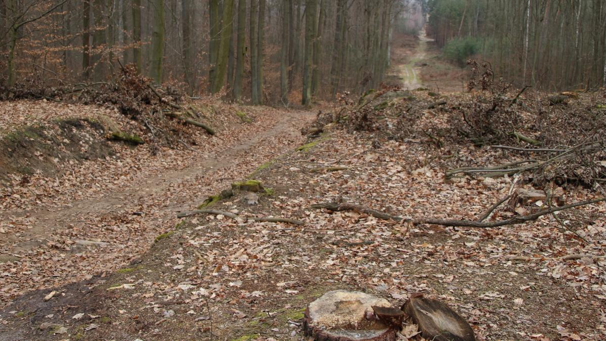 Lasy państwowe zatwierdziły wycinkę drzew pod drogę - kto jeszcze?   - Zdjęcie główne