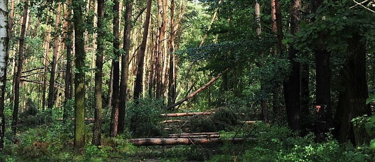 Zagrożenie dla ludzi. Nadleśnictwo wprowadziło zakaz wstępu do lasów - Zdjęcie główne
