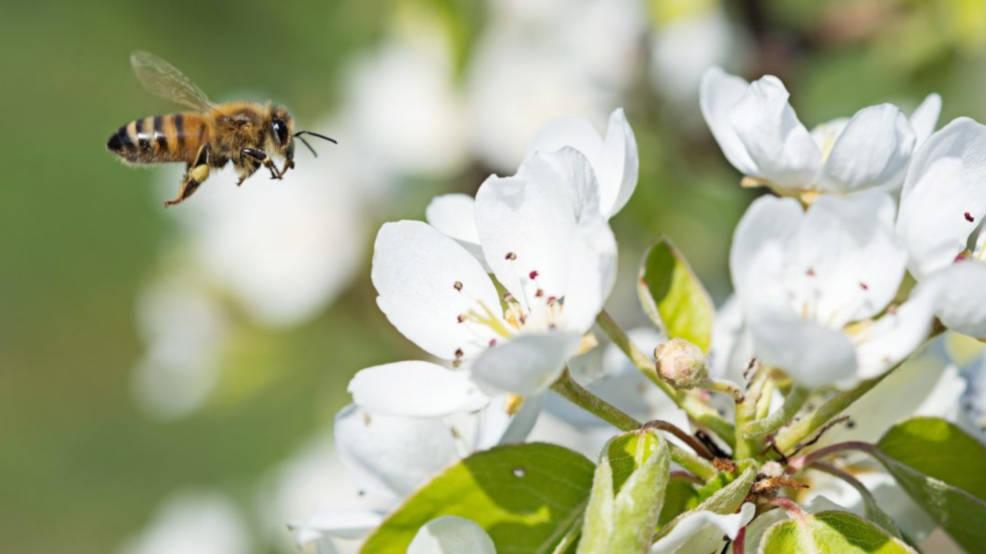 W odpowiedzi na apel pszczelarzy posadzą drzewa miododajne - Zdjęcie główne