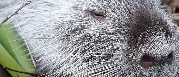 """Zobaczył go w parku: """"Szczur olbrzym"""". W internecie wybuchła dyskusja. Urzędnicy mają pomysł  - Zdjęcie główne"""