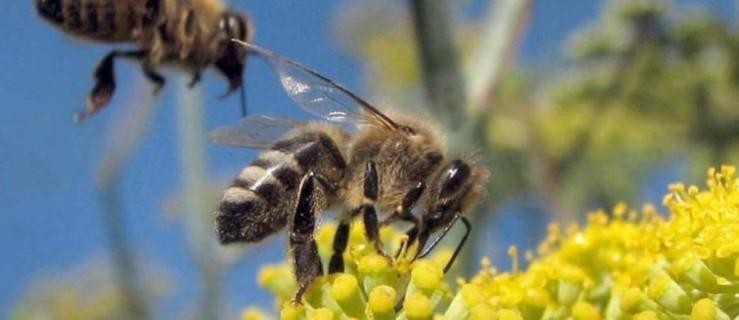 Bądźmy uważni - dbajmy o pszczoły, bo bez nich wyginiemy - Zdjęcie główne