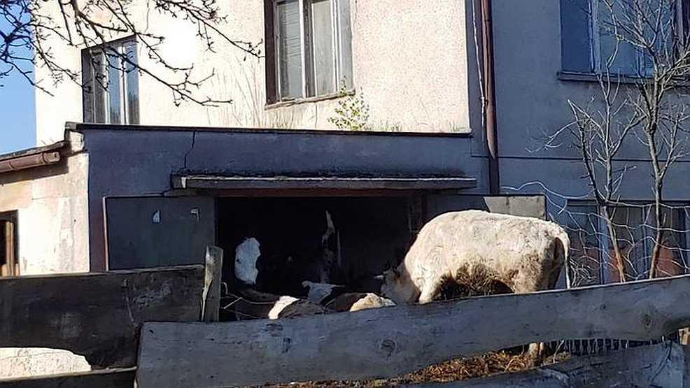 Czy bydło, które grzęzło w oborniku, zostało odebrane rolnikowi?  - Zdjęcie główne