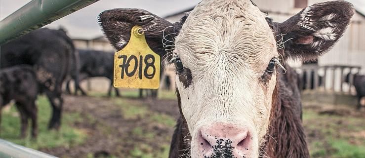 W gospodarstwie padło kilkadziesiąt sztuk bydła. Inspekcja weterynaryjna powiadomiła prokuraturę - Zdjęcie główne