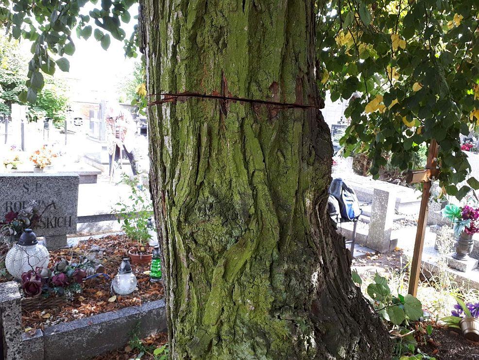 Okaleczone lipy na jarocińskim cmentarzu zagrażają pomnikom - Zdjęcie główne