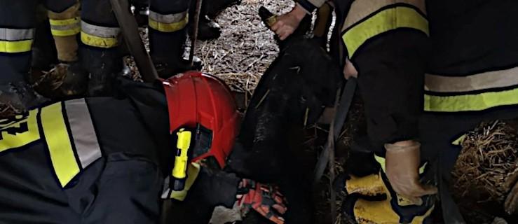 Krowa wpadła do szamba. Uratowali ją strażacy [ZDJĘCA]  - Zdjęcie główne