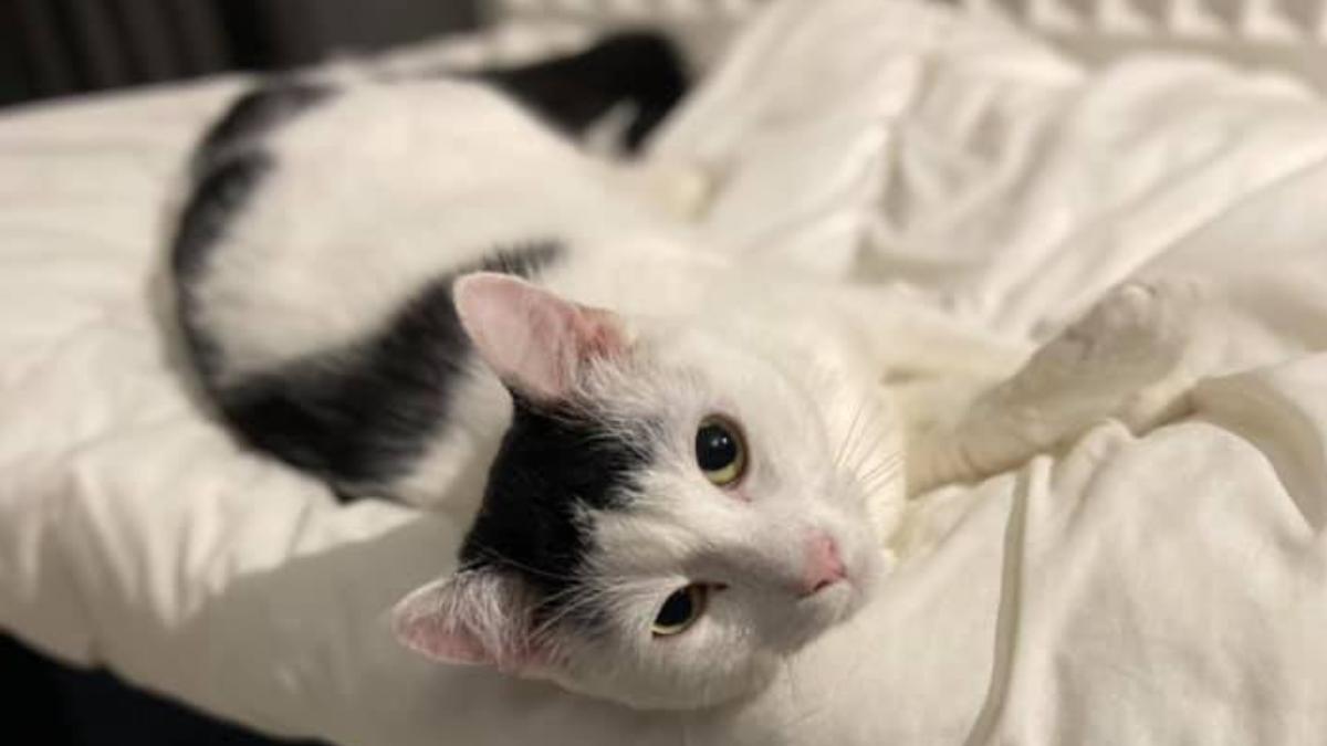 Właścicielka szuka kota. Wyznaczyła nagrodę - 1.000 zł - Zdjęcie główne