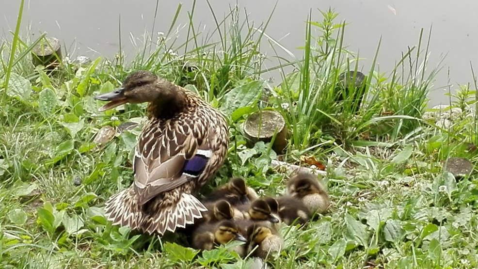 Jarocin. Spotkanie dla dzieci z ornitologiem. Będzie można zrobić sobie kaczkę - Zdjęcie główne