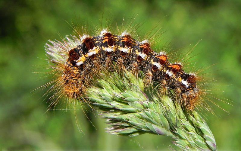 Powiat krotoszyński. Inwazja niebezpiecznych dla ludzi owadów. Burmistrz ostrzega! - Zdjęcie główne