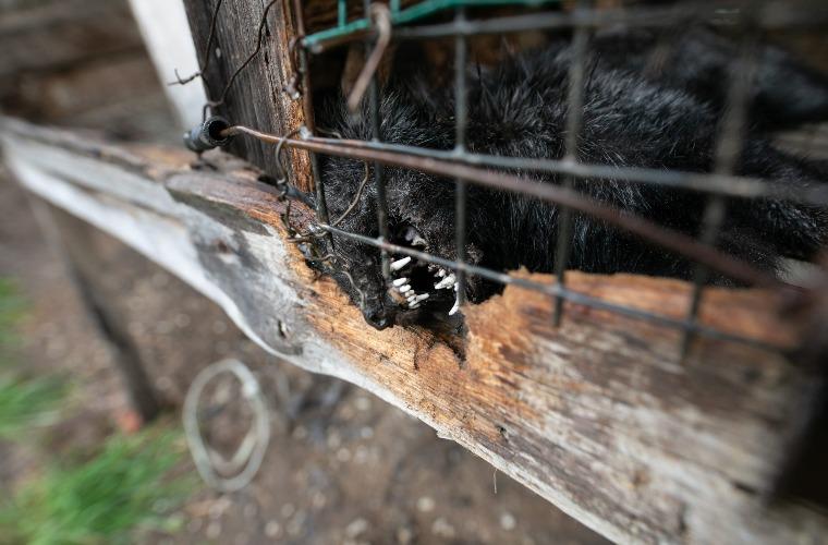 Gmina Krotoszyn. Prokuratura bada sprawę fermy lisów w Durzynie [DRASTYCZNE ZDJĘCIA] - Zdjęcie główne