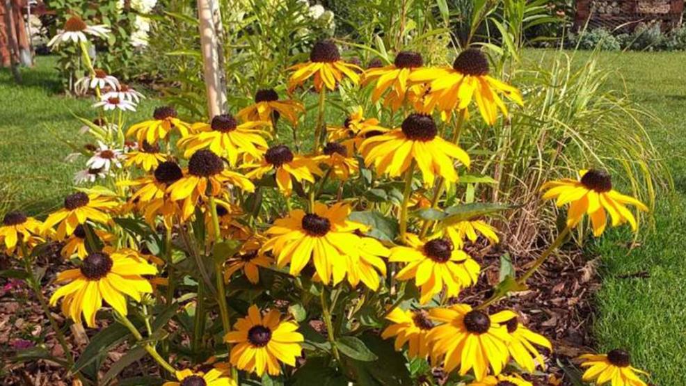 Najpiękniejsze byliny kwitnące od lata do jesieni. Poznaj kwitnące byliny ogrodowe, które sprawią, że Twój ogród będzie kolorowy przez cały sezon. - Zdjęcie główne