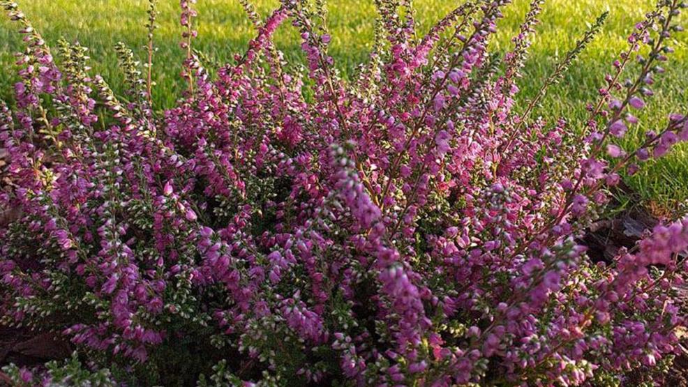Wrzosy - odmiany, sadzenie, pielęgnacja - Zdjęcie główne
