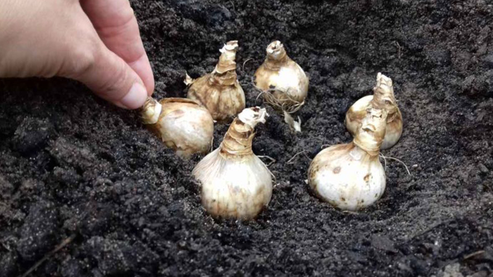 Jesienne sadzenie roślin cebulowych - Zdjęcie główne