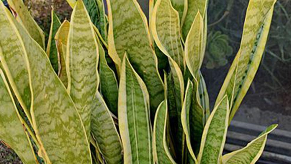 Roślina idealna do sypialni - Zdjęcie główne