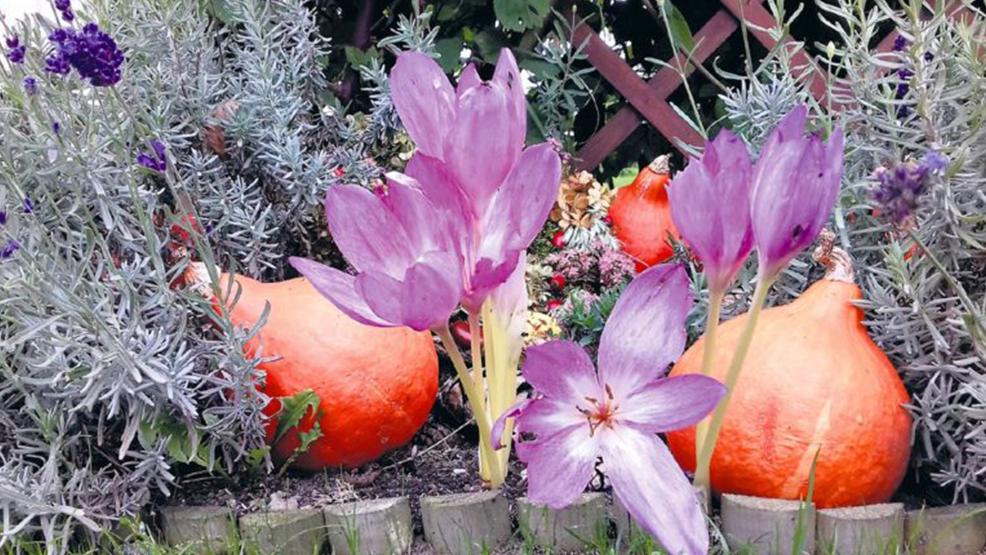 Jak uprawiać cyklameny, szafrany jesienne i zimowity. - Zdjęcie główne