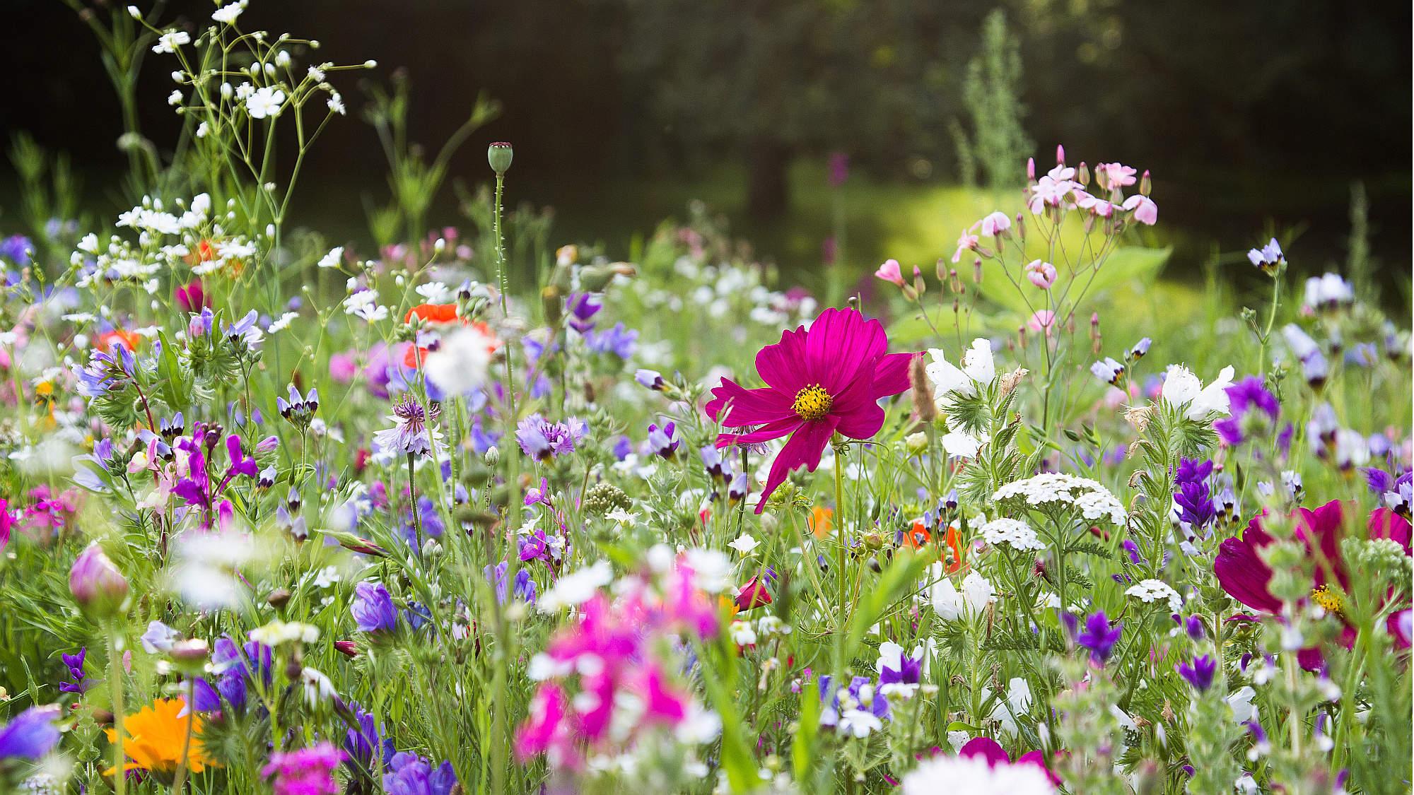 W Rawiczu posiano siedem łąk kwietnych  - Zdjęcie główne