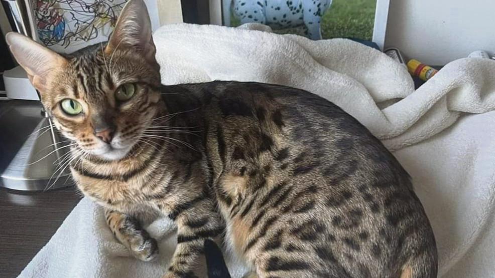 Zaginęła kotka rasy bengalskiej - Zdjęcie główne