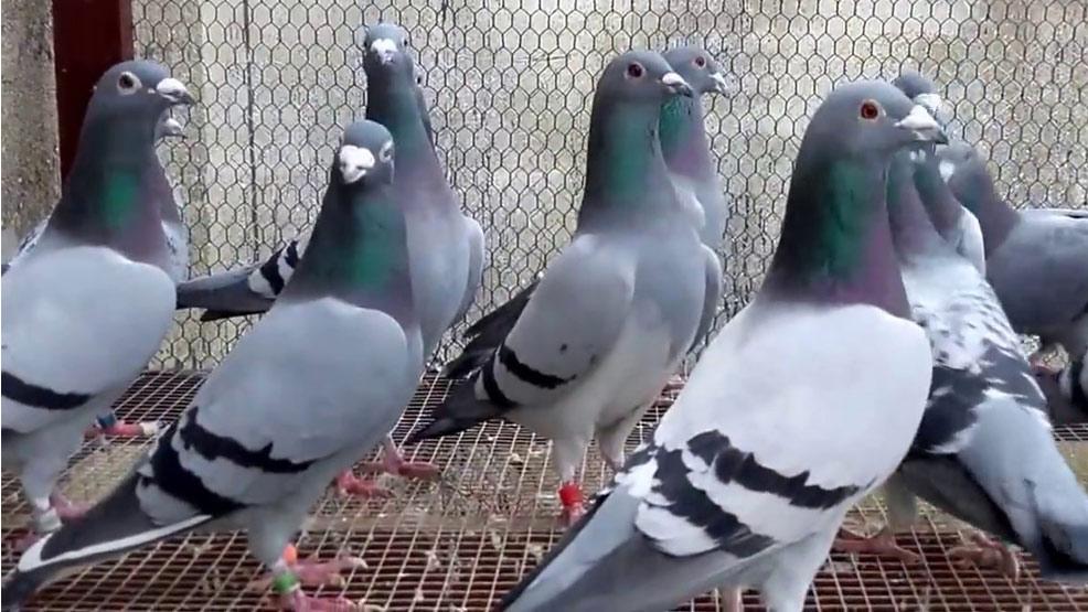 Wystawa gołębi rasowych, pocztowych oraz drobnego inwentarza - Zdjęcie główne