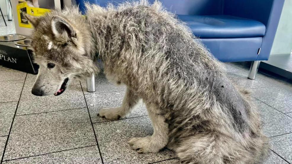 Pies z gnijącą raną. Okropnie zaniedbany przez właścicieli - Zdjęcie główne