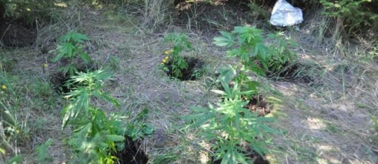 Policjanci zlikwidowali plantację marihuany. Zatrzymano już trzy osoby! - Zdjęcie główne