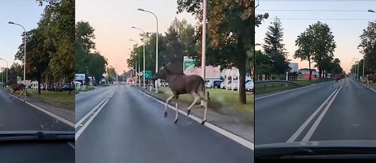 Wjechał do miasta. Nagle na drogę wyskoczyły mu... dwa wielkie łosie [WIDEO] - Zdjęcie główne