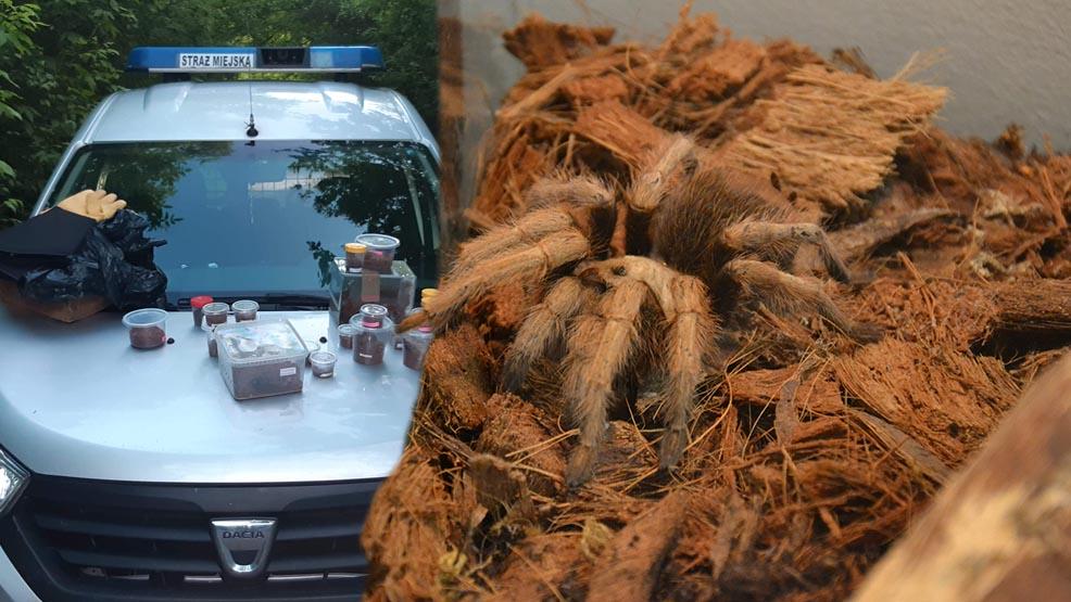 Przerażająca niespodzianka w lesie, niedaleko Mosiny. Kobieta znalazła jadowite pająki - Zdjęcie główne