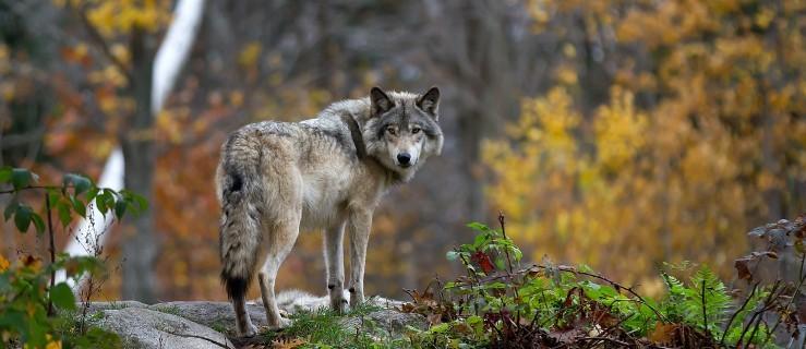 Wilki w ZOO zagryzły swego brata. Wygrała wilcza natura - Zdjęcie główne